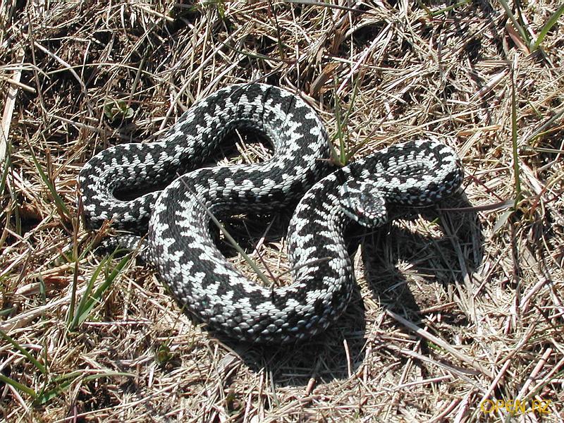 Как отличить ядовитую змею от безопасной?